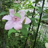 江崎さんちのお庭のバラ(2017.5.23)