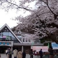 桜を求めて山登り(高尾山編)