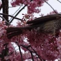京の桜情報 長徳寺 - おかめ桜とひよどりさん ー