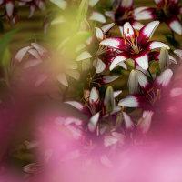 2017 筥崎花庭園のユリ 2 (色とりどりのユリが迎えてくれる)《福岡市東区筥崎》