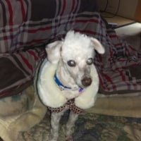 我が家の愛犬チロのはじめての手術。