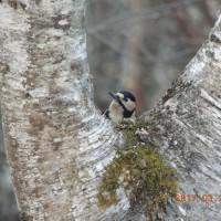 アカゲラ(啄木鳥)は雑食系