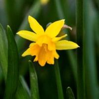 ヒヤシンス 花の流行