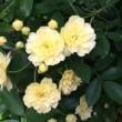 モッコウバラが咲いた