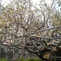 新高梨の授粉用の花摘みが始まった
