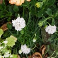 激安苗を足して大型寄せ植えを作る