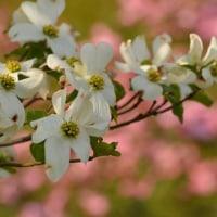 ハナミズキの咲く頃 ~100年というMAXタイムリミット