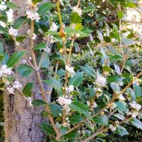 今日の俳句  「柊咲く」