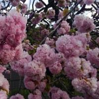 砂糖かけ食べてもみたし八重桜