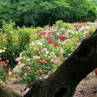 種松山の薔薇の花 in 岡山・倉敷市