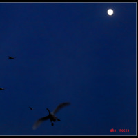夕方、コハクチョウ、月の見える夜