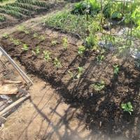 スナップ残りの苗植える