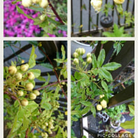 モッコウバラの花があと少しで咲きます