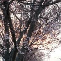 東村山市久米川の夕陽と小彼岸桜