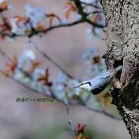 桜 と ゴ ジ ュ ウ カ ラ ♪