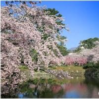 小田原城址公園・お堀の桜