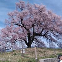 桜三昧、バスツアー