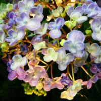 『紫陽花』 雨に濡れ
