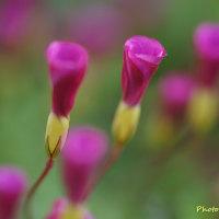 オキザリスの花の中
