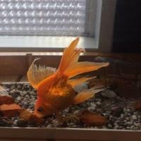 金魚とヤモリ。