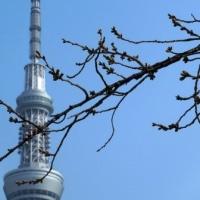 3月23日(水)桜パトロール