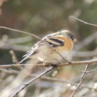 奈良公園・小鳥・アトリ