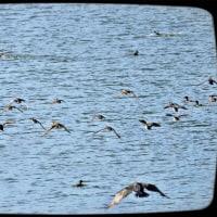 堤に立った私に驚いて飛び立ったカモさんたち<天王池>