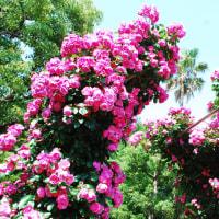 春のバラ園にて~♪(谷津バラ園)