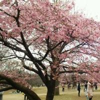 葉が見えてきた河津桜