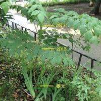 タラの木の成長