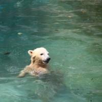 北極熊の百々ちゃん2歳になりました^0^=浜松動物園=