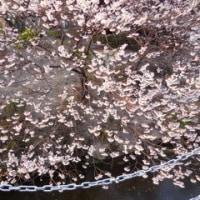 備後護国神社の早咲きの桜