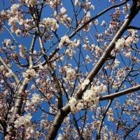 散歩の公園で咲く最初の桜