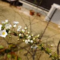 ぼちぼち雪柳の花が咲きだしました。