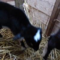 生後2日目のヤギたち