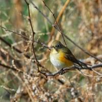 今日の野鳥はルリビタキ