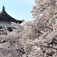 諏訪市高島城址公園の桜 2017
