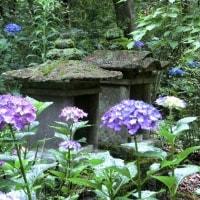 浄土寺の裏山に咲くアジサイ 2017.06.26