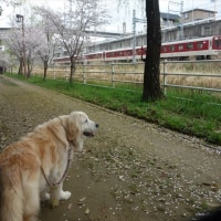 桜四月散歩道