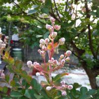 初夏の定番カミキリムシ