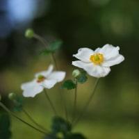 白い秋明菊が咲いていました