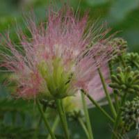 6月25日(日) 曇り空と合歓の花