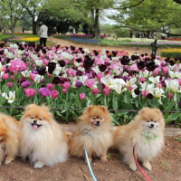 昭和記念公園 チューリップに5ポメズ集合
