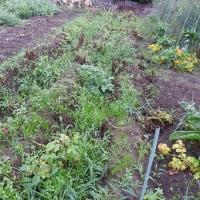 今年のジャガイモ、収穫はそこそこで…。