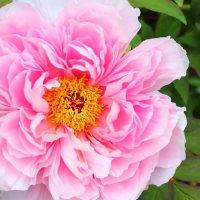 牡丹『玉芙蓉』の花と春蒔き組さんその後。。
