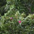 篠窪(しのくぼ)に観賞用たばこの花が咲きました