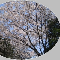 「あっという間に葉桜。しかし、これもいい」