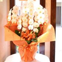 白胡蝶蘭鉢5本立