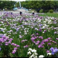 東京の菖蒲園に