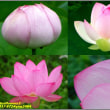 image2404 蓮の花1